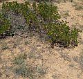 Flickr - brewbooks - Castilleja linariifolia and manzanita.jpg