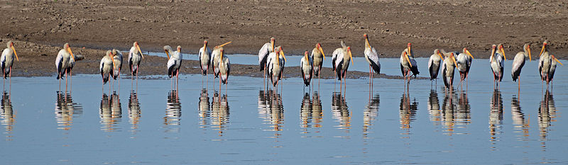 Yellow billed storks, South Luangwa National Park.  From 10 of the Best Experiences on a Safari in Africa