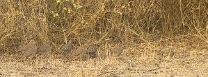 Rock bush quail - Flock at Rajkot