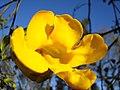 Flor de cipó (2922339189).jpg