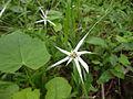 Flor de grama silvestre de San Luis de la Reina.JPG