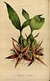 Flore des serres et des jardins de l'Europe - vol. 04 - page 335.jpg