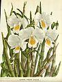 Flore des serres v16 045a.jpg