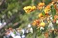 "Flores de ""Escova-de-macaco"" - Combretum fruticosum - Combretaceae - Liana semilenhosa - trepadeira 07.jpg"