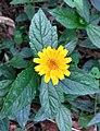 Flores de Guaramiranga CE - Yellow 3.jpg