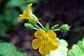 Flower mukkutti P1030598.JPG