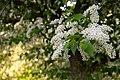 Flowering (509345862).jpg