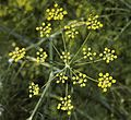 Foeniculum vulgare A.jpg