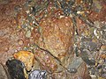 Fossils in ferruginous siliciclastics (Vinton Member, Logan Formation, Lower Mississippian; Irish Ridge East roadcut, near Trinway, Ohio, USA) 4 (33080039882).jpg