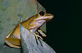 Four-lined Tree Frog (Polypedates leucomystax) on the water tank (14442370710).jpg