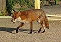 Fox (4577930099).jpg