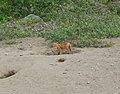 Fox Kit (9514481830).jpg