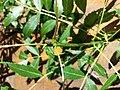 Fraxinus angustifolia subsp. danubialis sl2.jpg