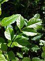 Fraxinus ornus (subsp. ornus) sl5.jpg