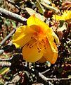Fremontodendron californicum kz2.jpg