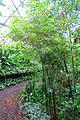 Freycinetia cumingiana (Freycinetia luzonensis) - Flora park - Cologne, Germany - DSC00694.jpg
