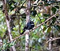 Friendly Fantail. Rhipidura leucophrys (48727237247).jpg