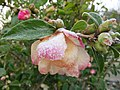 Frost on camellia (10986032525).jpg