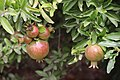 Fruit in Pompeii Ruins (48445438611).jpg