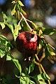 Fruit trees עצי פרי (26).JPG