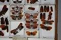 Fulgoridae Drawers - 5036699864.jpg