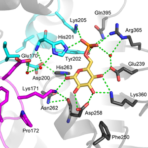 Glucose-6-phosphate dehydrogenase - Image: G6PD active site labeled 2