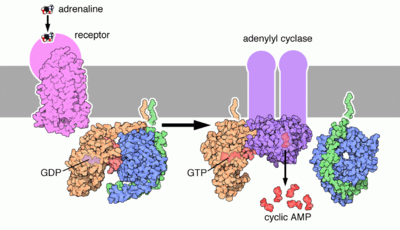Epinephrine (adrenaline) binds its receptor, that associates with an heterotrimeric G protein. The G protein associates with adenylyl cyclase that converts ATP to cAMP, spreading the signal (more details...)