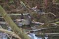 Gallinule poule d'eau (Gallinula chloropus) - 6029.jpg