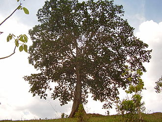 Gameleira - Gameleira Tree
