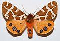 Garden Tiger Moth (Arctia caja) (8384238364).jpg
