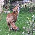 Garden fox 2 (3412439582).jpg