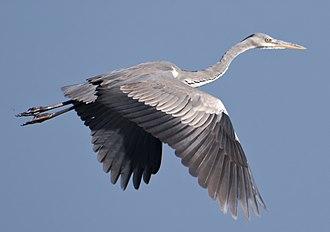 Grey heron - In flight