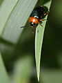Gastrophysa polygoni (Chrysomelidae) (7814155162).jpg