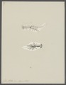 Gebia stellata - - Print - Iconographia Zoologica - Special Collections University of Amsterdam - UBAINV0274 097 03 0006.tif