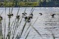 Geese (29264047977).jpg
