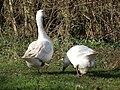 Geese Roaming Free - geograph.org.uk - 358546.jpg