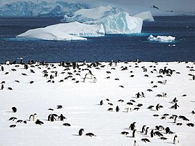 Gentoo Penguin Colony (16048405889).jpg