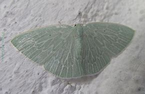 Description de l'image Geometridae-Comostolopsis leuconeura-22mm-09.jpg.