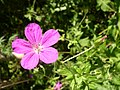 Geranium palustre flower bud 1 AB.jpg