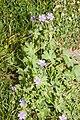 Geranium pyrenaicum champs-devaugerme-chateau-thierry 02 13052007 1.jpg