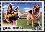 German-Shepherd-Canis-lupus-familiaris Romania 1990.jpg