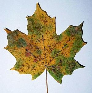 Xant fila wikipedia la enciclopedia libre for Significado de un arbol sin hojas
