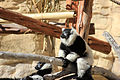 Gfp-black-and-white-lemur.jpg