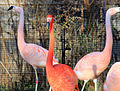 Gfp-some-flamingos.jpg