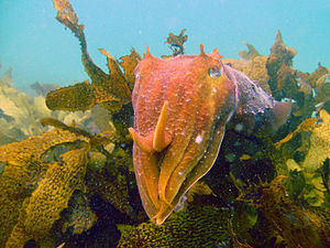 Giant Cuttlefish at Shelly Beach, NSW
