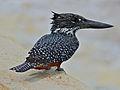 Giant Kingfisher (Megaceryle maxima) (12751322164).jpg