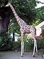 Giraffe - Emmen.jpg