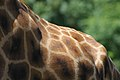 Giraffe got back (Unsplash).jpg