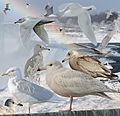 Glaucous Gull From The Crossley ID Guide Eastern Birds.jpg