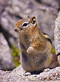 Golden-Mantled Ground Squirrel (7271534566).jpg